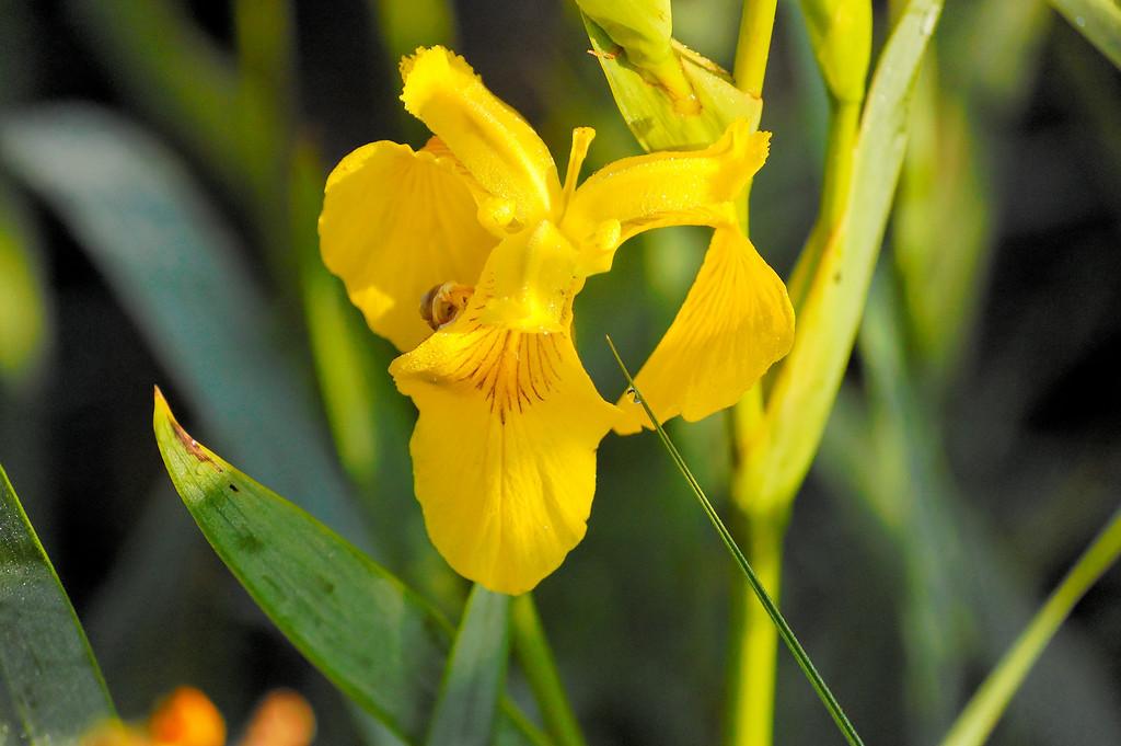 Lirio-amarelo-dos-pantanos (Iris pseudacorus)