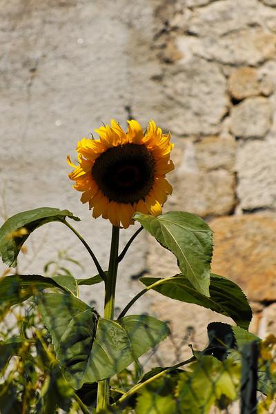 1.9.2.Girassol<br /> Julho 2008