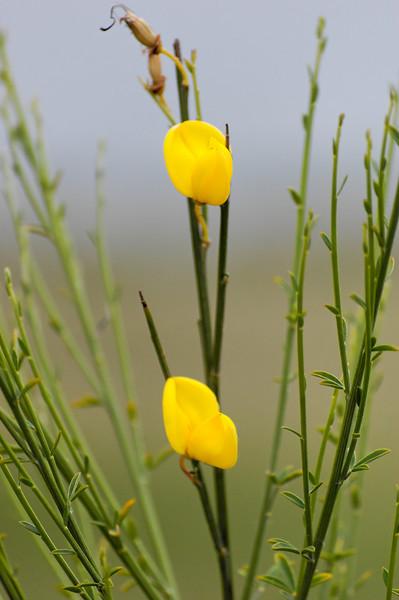Ansarina-dos-campos [Linaria spartea]
