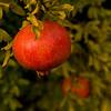 Pomagranates of Orvieto, Italy