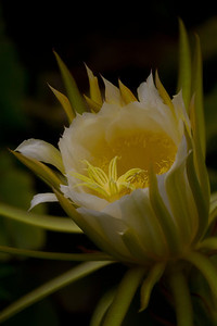 Suddenly, as rare things will, it vanished.                    ~Elizabeth Barrett Browning  Night-blooming Cereus or Queen of the Night  ~ Blooms only once a year, for a single night.