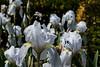 D140-2015  Bed of pale blue bearded iris<br /> <br /> Knot Garden, Matthaei Botanical Gardens, Ann Arbor<br /> May 20, 2015