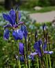 D140-2015  Iris (species or variety unknown, but not bearded or German iris)<br /> <br /> Matthaei Botanical Gardens, Ann Arbor<br /> May 20, 2015