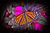 09-25-2011-Butterfly--2