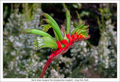Red & Green Kangaroo Paw (Anigozanthos manglesii) - Kings Park, Perth