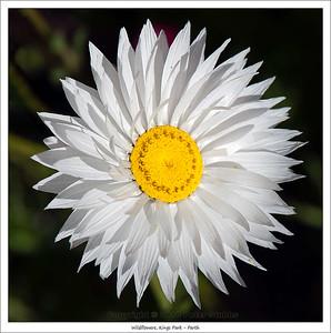 Wildflowers, Kings Park - Perth