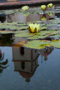 Lotus Pond with California Mission reflected, California, 2010