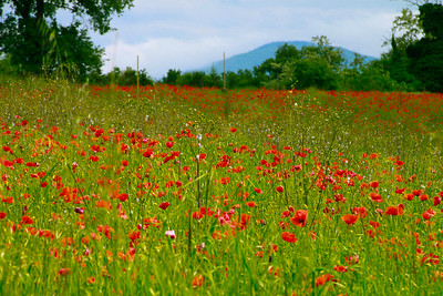 Poppy Field, Umbria, Italy 2010