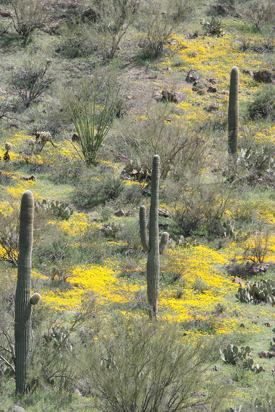 saguaro cactus and poppies