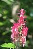 Thai_Pink flower