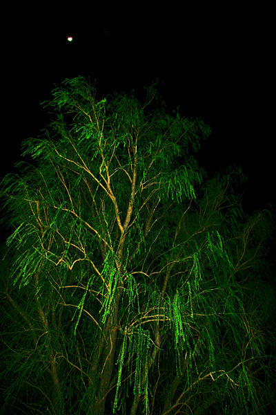 Moonlite willow
