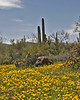 Poppies and saguaro cactus