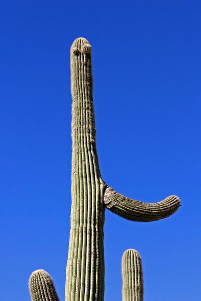 Suargho Cactus