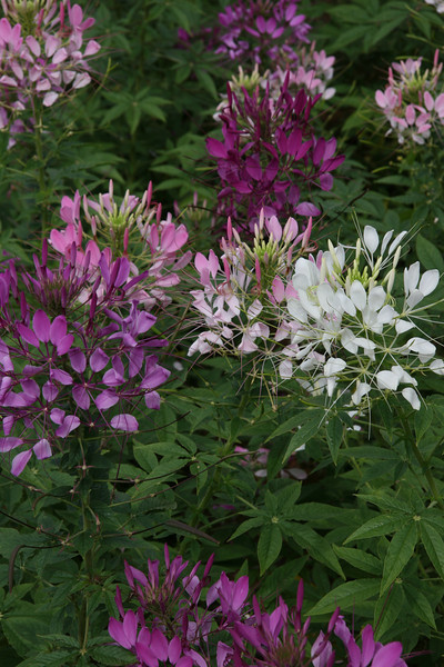 Purple and White spider Flowers