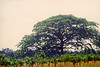 Guanacaste Tree, historic tree of northern costa rica.  Not too many left.