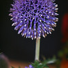 A special thistle cultivated by the gardeners of BC