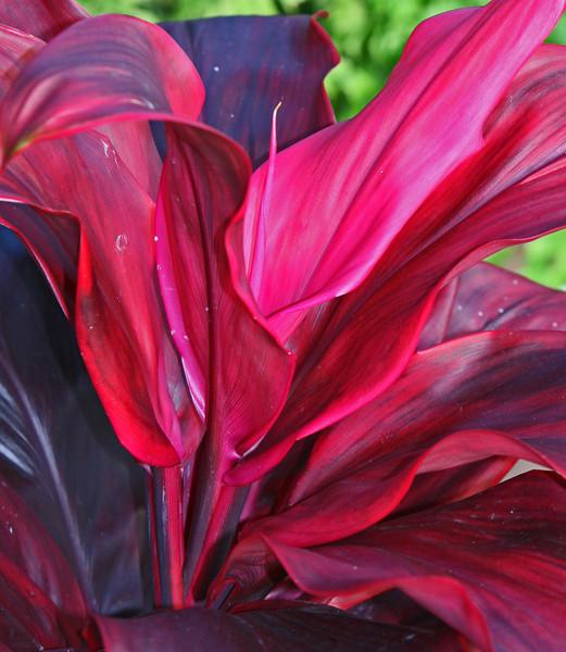 Roseflower plant