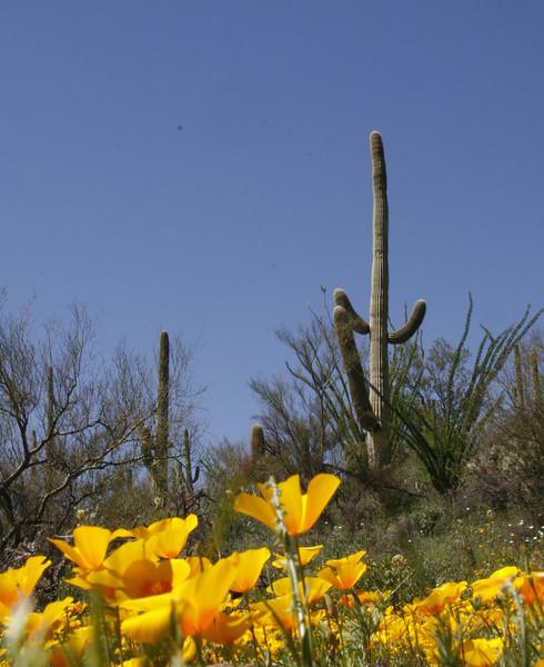 saguaro and poppies