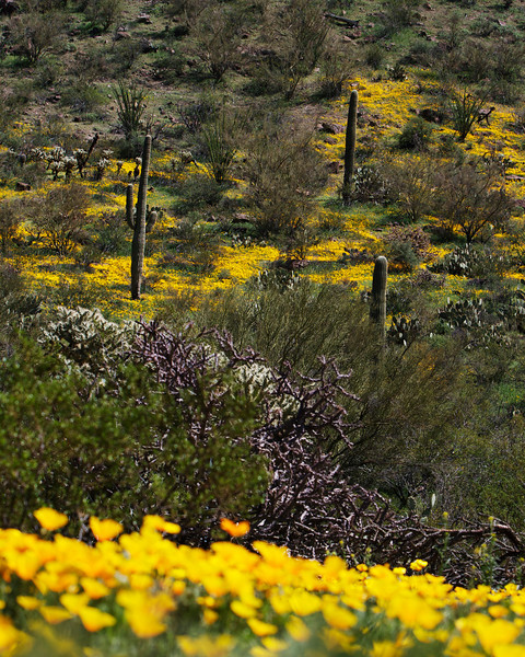 Poppies and Saguaro cactus.  There was alot of rain this spring and the desert has come on with many flowers.