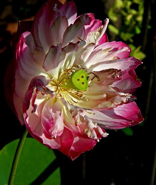 Thai_pinkflowerclose
