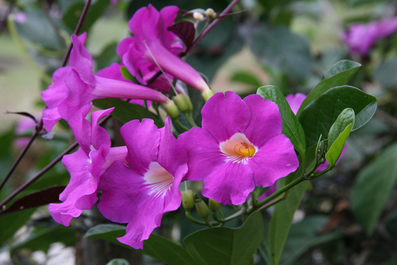 Purple Sweetpeas?