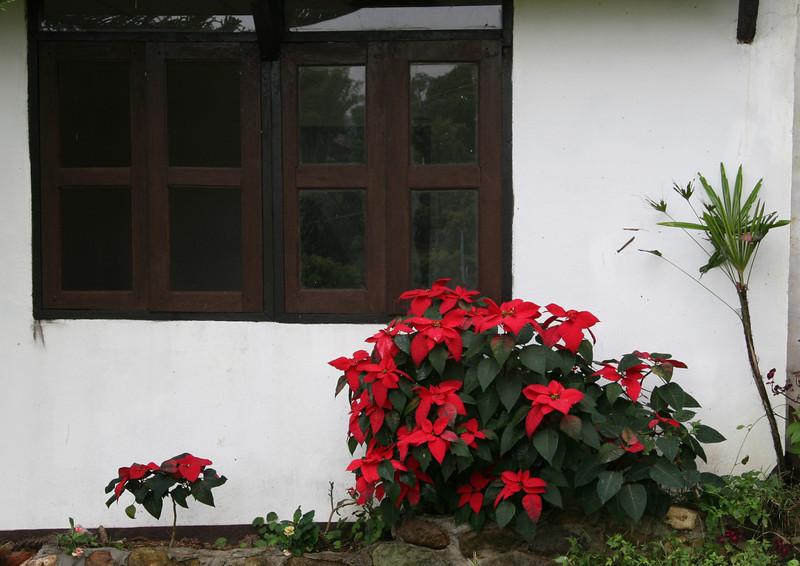 Poinsetta window