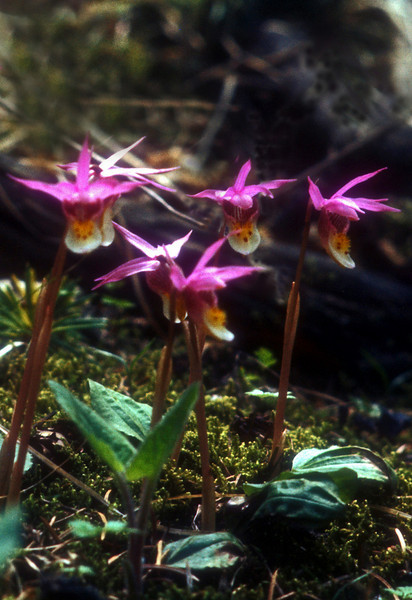 "Fairy orchids hide in deep dark damp woods and are about 4"" high."