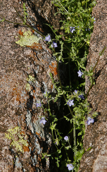 Bluebells in a rock crack