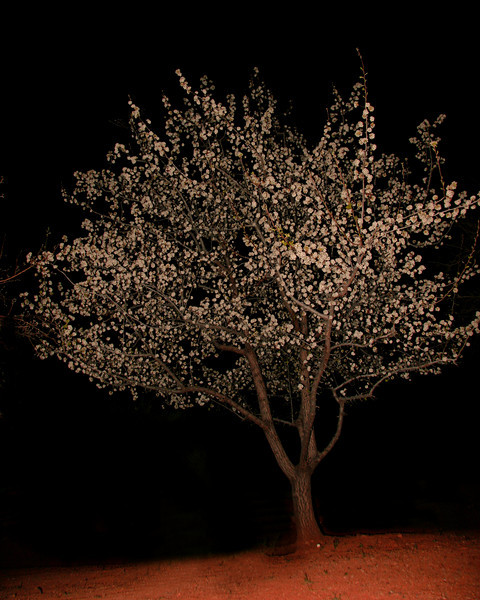 Christmas Cherry tree