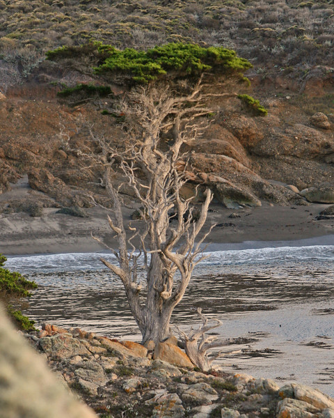 tough coast cypress