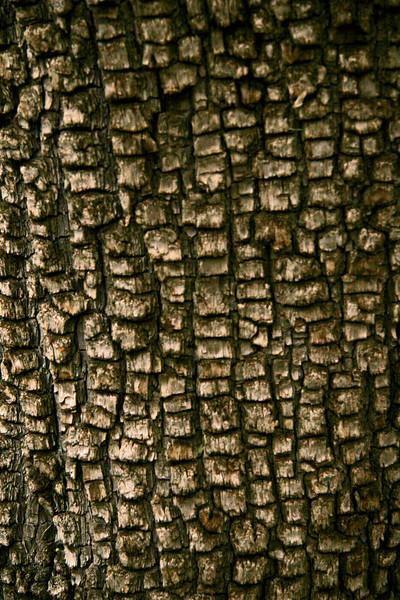 Bark on Alligator Pine tree