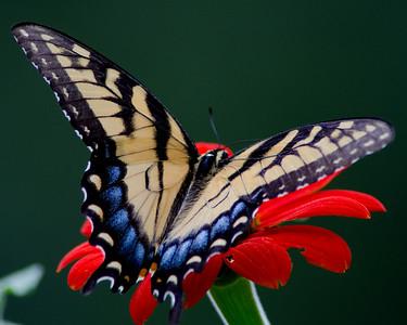 E. Tiger Swallowtail