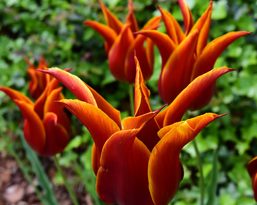 Flaming Tulips Cleveland Park 2020