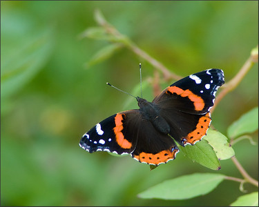 Red Admiral  Sometimes I get more than I bargained for at Huntley Meadows!  Gorgeous morning and a treat to top it off!