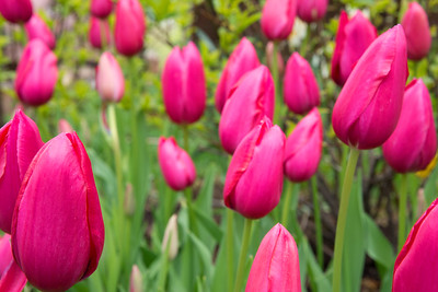 Tulips Cleveland Park 2020