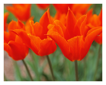 Fall in Line    These red-orange tulips caught my eye as we stepped onto the campus at Salisbury State University.  This shot was another of the set of close-ups taken on medium format film, and the detail is equally impressive to me.