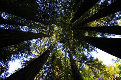 Muir Woods.  Looking up at giants redwoods