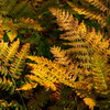 Rusty ferns in fall