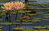 The lily pond<br /> Bronx Botanical Gardens, Bronx ,New York, 2008