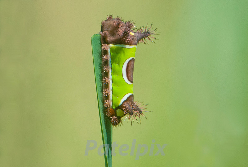 Saddleback Caterpillar<br /> The Celery Farm<br /> August, 2012