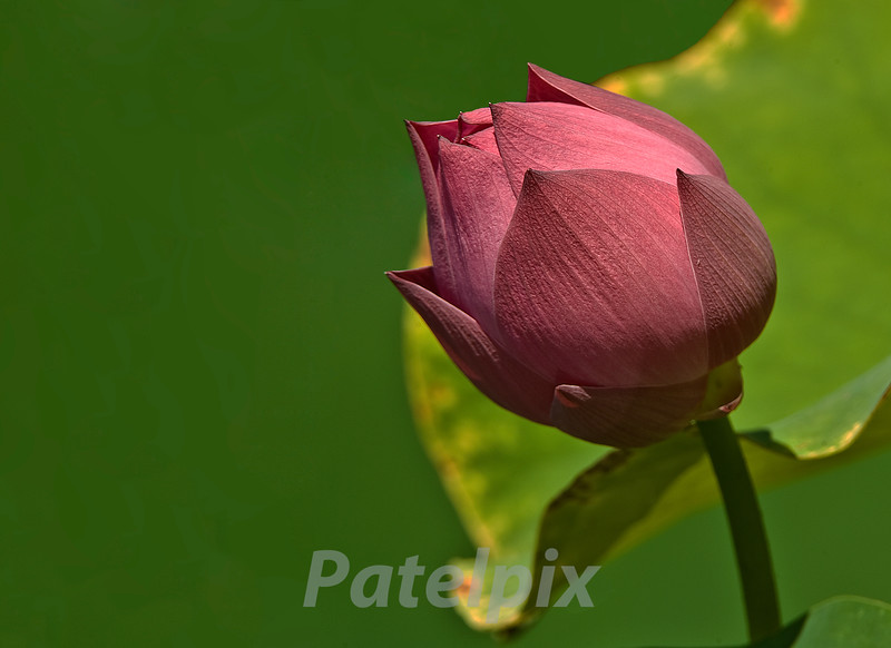 Lotus bud<br /> Randy's Farm, West Milford, New Jersey, 2008