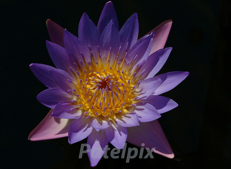 Art by Nature<br /> Photography by Patelpix<br /> Water Lily  ---  Bronx Botanical Gardens<br /> Bronx, New York.  2008