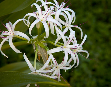 Sumatran Giant Lily in Kauai