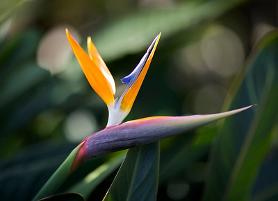 Bird of Paradise in Kauai