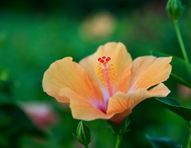 Hibiscus in Kauai