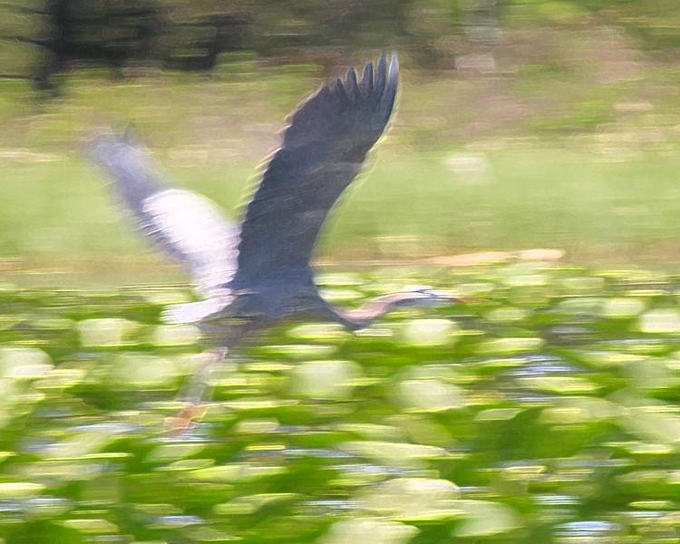 Copy of blue heron 01