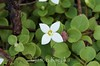 Houstonia procumbens, Trailing Bluet; Liberty County, Florida  2013-02-01  #3