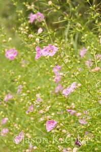 Agalinis purpurea, Pine-Barren Gerardia; Ocean County, New Jersey 2014-08-30   12