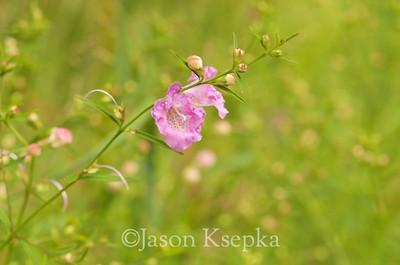 Agalinis purpurea, Pine-Barren Gerardia; Ocean County, New Jersey 2014-08-30   21