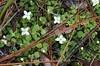 Houstonia procumbens, Trailing Bluet; Liberty County, Florida  2013-02-01  #1